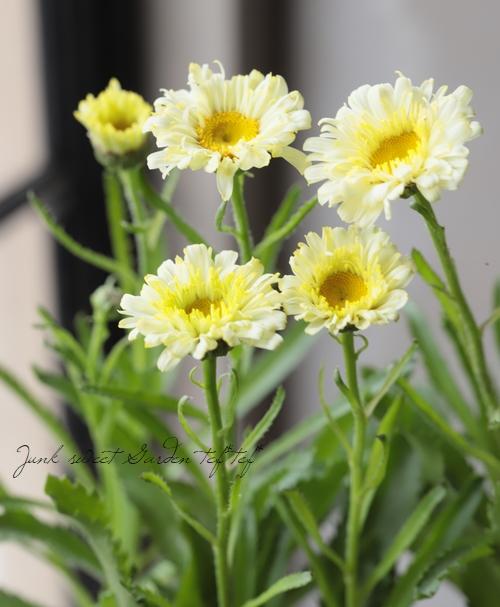 八重咲きシャスターデージー 『リアルドリーム』