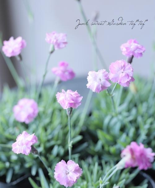 極小輪八重咲きナデシコ ダイアンサス 『ピンクジュエル』