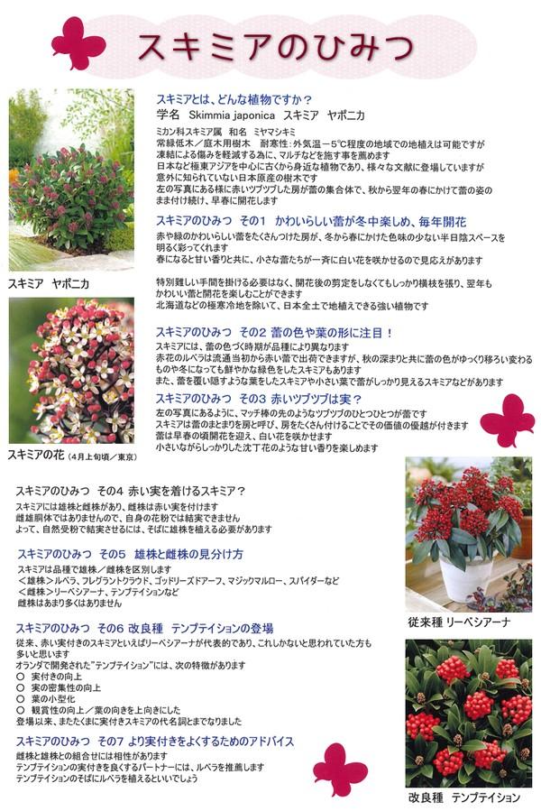<i>Skimmia japonica</i><BR><BR>オランダ産!スキミア<BR>『ミスティックマルロー』