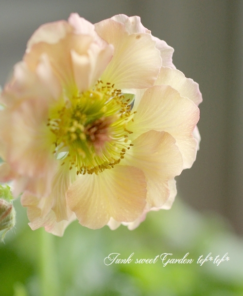 半八重咲きゲウム 『マイタイ』