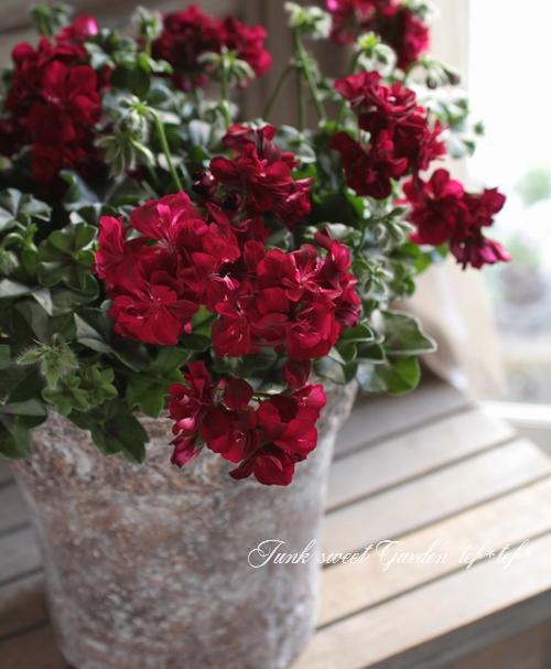 薔薇咲アイビーゼラニウム 『トムキャット』
