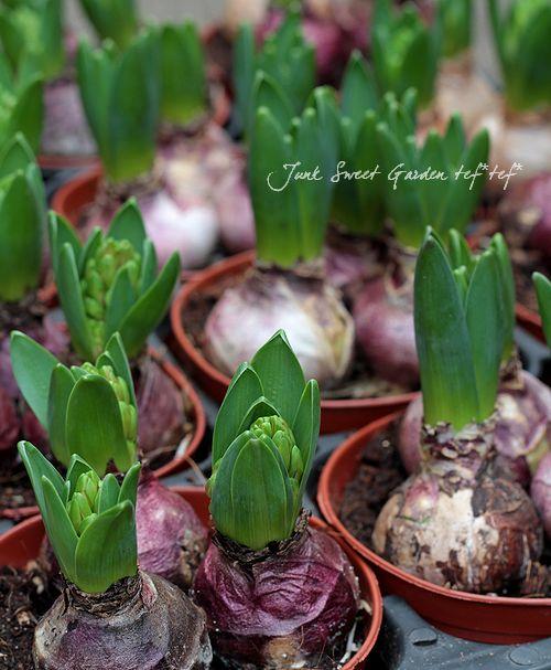 <i>Hyacinthus orientalis</i><BR><BR>芽だし球根<BR>『ヒヤシンス』<BR>3色MIX植え