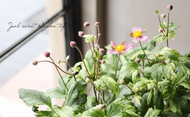 斑入り秋明菊  『初音』 シュウメイギク