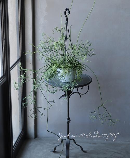 【観葉植物】 リプサリス 『ケレウスケラ』 葦サボテン