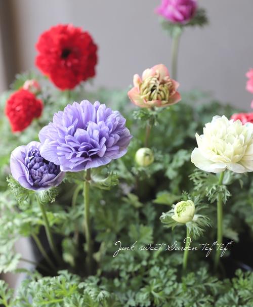 八重咲きアネモネ 『凛々花 -リリカ-』 MIX