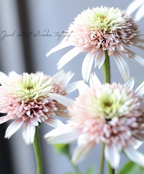 八重咲きエキナセア 『チェリーフラフ』
