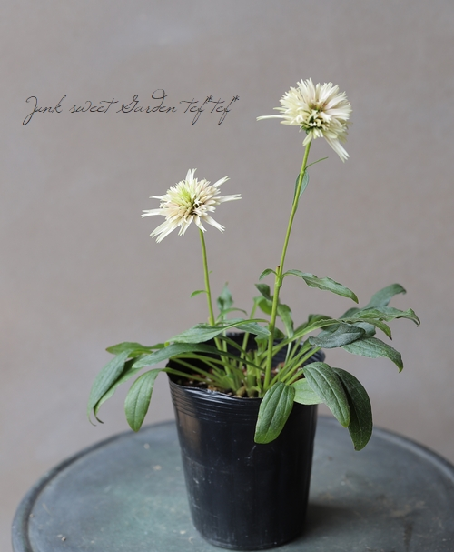 八重咲きエキナセア 『チェリーフラフ』小さめ10%off