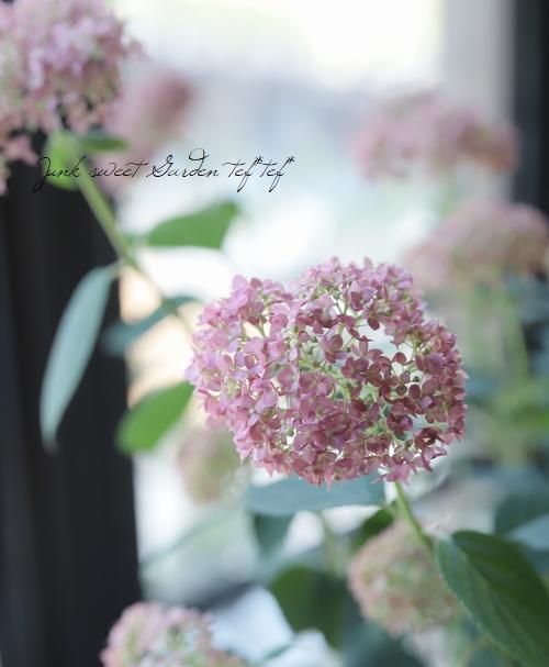 紫陽花アナベル 『ピンクアナベル』