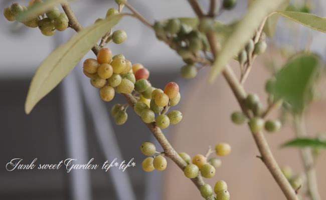 シルバーリーフのグミの木 『ロシアンオリーブ』