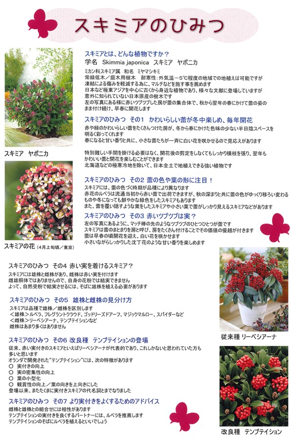 <i>Skimmia japonica</i><BR><BR>オランダ産!7号大鉢!<BR>耐寒性常緑低木<BR>スキミア『フレグラントクラウド』