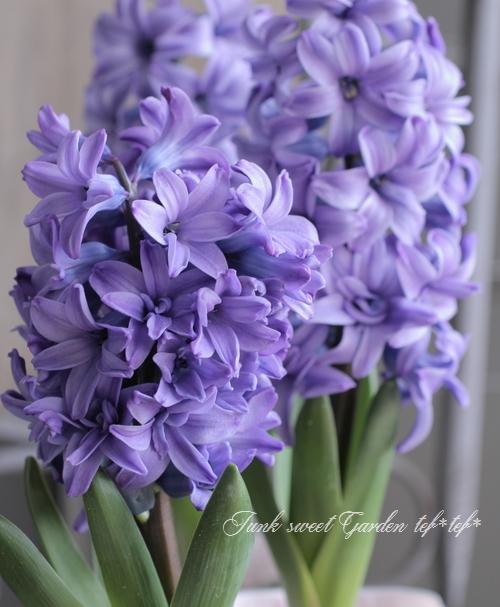 八重咲きヒヤシンス 『ブルー』 芽だし球根