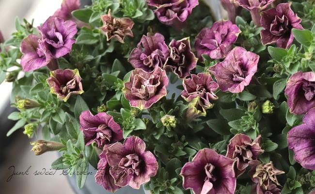 八重咲きペチュニア 『ラチカ・トモコ』