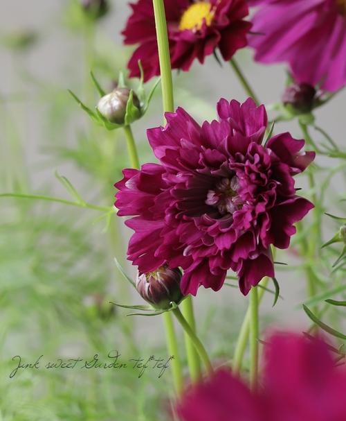 八重咲きコスモス・ダブルクリック 『クランベリー』