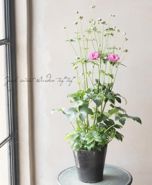 八重咲き秋明菊 『プリンツハイリッヒ』 シュウメイギク