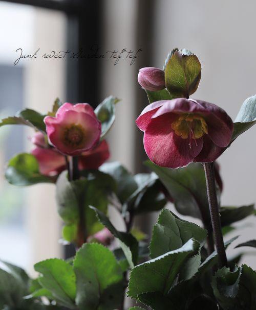 クリスマスローズ Ice N'roses 氷の薔薇 『バローロ』