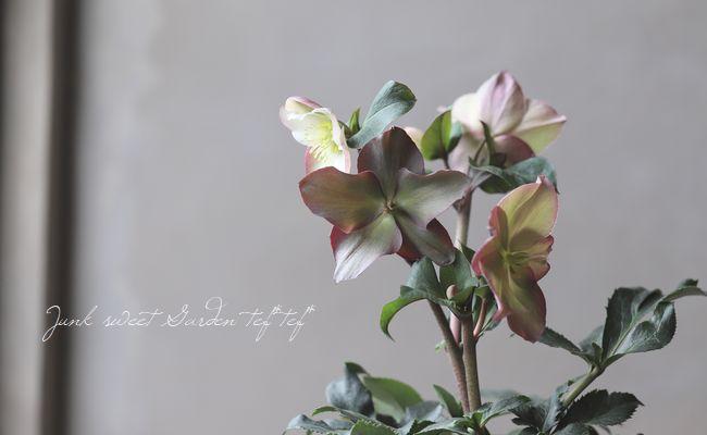 クリスマスローズ Ice N'roses 氷の薔薇 『ローズ』