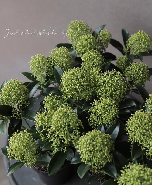 スキミア 『ホワイトドワーフ -White Dwarf-』 耐寒性常緑低木