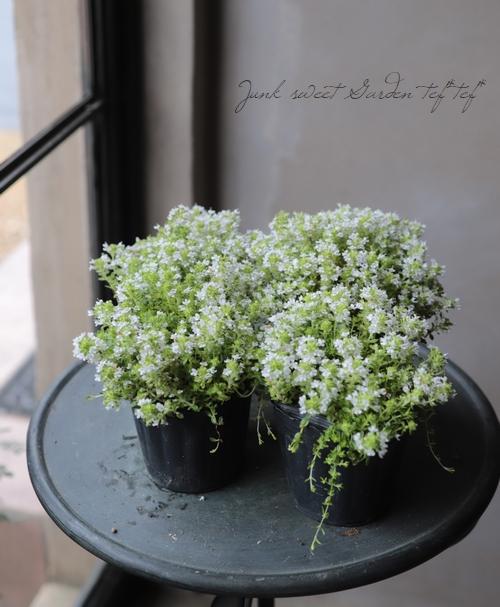白花 『クリーピングタイム』