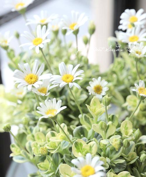 白花ブルーデージー 『ペガサス』