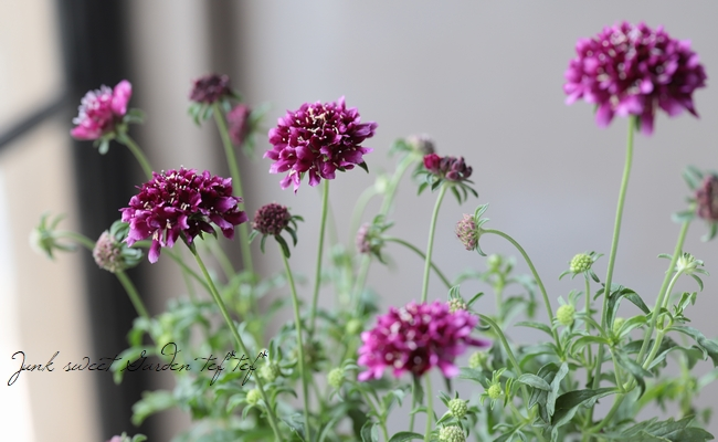 スカビオサ 『ジェラートブルーベリー』 花なし小さめ