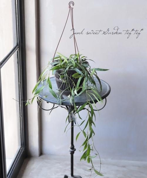【観葉植物】 ホヤ 『オデッティア -Odetteae-』 【B】