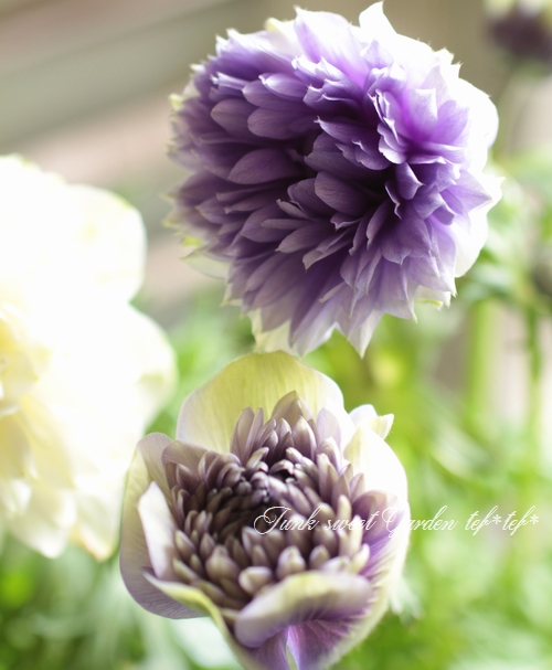 八重咲きアネモネ 『オーロラ』 植えっぱなしOK!