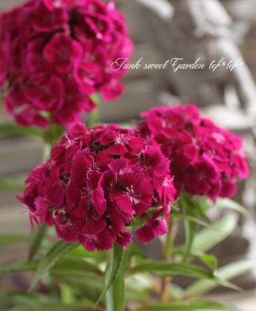 <i>Dianthus barbatus nigrescens</i><BR><BR>宿根!赤黒ダイアンサス<BR>『ブラックチェリー』