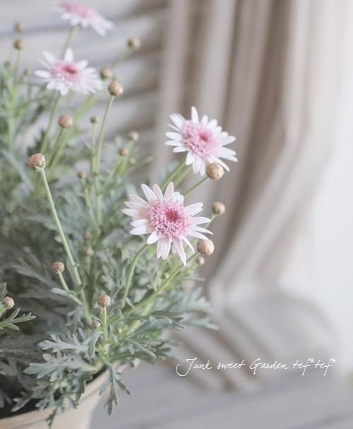 <i>Argyranthemum frutescens</i><BR><BR>ゲブラさんのマーガレット<BR>ノヴォシリーズ<BR>『あずきちゃん』