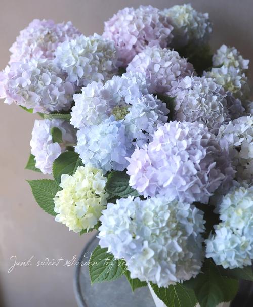 四季咲き!紫陽花 『霧島の恵 -キリシマノメグミ-』