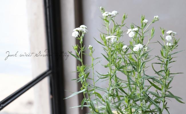 八重咲きアキレア 『ゆきてまり』
