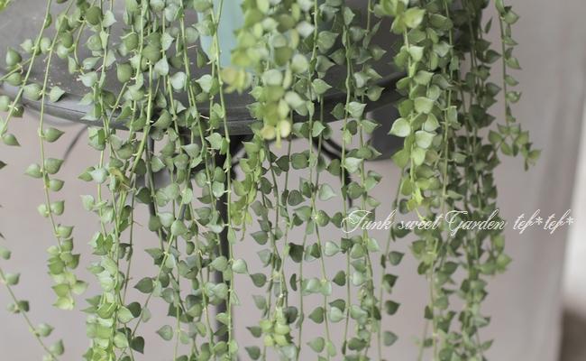 【観葉植物】 ディスキディア 『ミリオンハート』