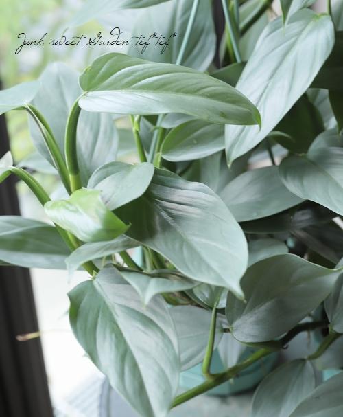 【観葉植物】 フィロデンドロン 『シルバーメタル』