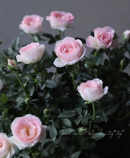 ミニバラ・オプティマチュチュ 『ピンク』