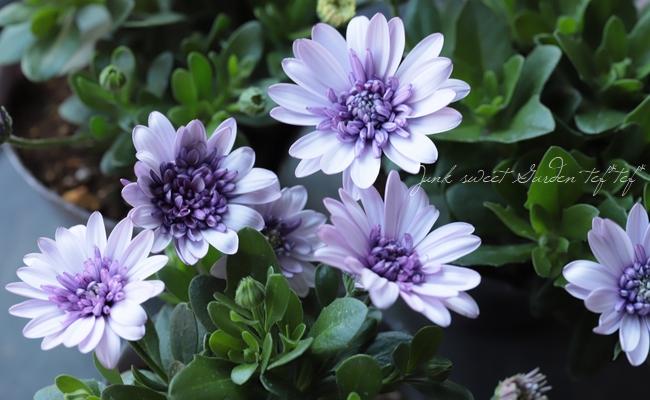 八重咲きダブル・オステオスペルマム 『バイオレットアイス』