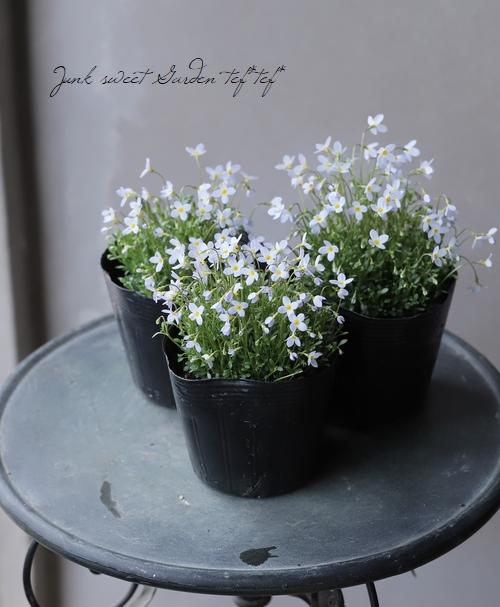 ホウストニア (フーストニア) 『ヒナソウ』 ライトブルー花
