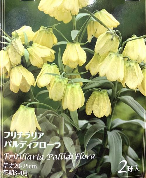 【球根】 洋種バイモユリ・フリチラリア『パルディフローラ』