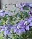 八重咲きクレマチス 『マジックフォンテーン』