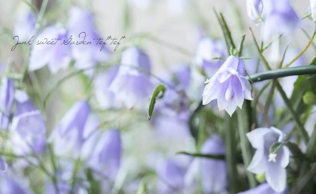 『八重咲きイワシャジン』