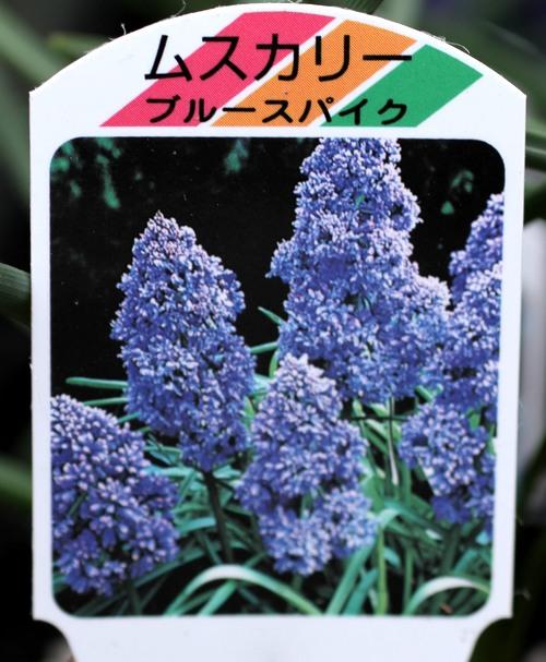 八重咲きムスカリ 『ブルースパイク』 芽出し球根