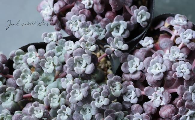 【多肉植物】セダム・スパツリフィリウム 『パープレウム』