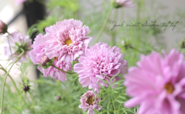 八重咲きコスモス・ダブルクリック 『ローズボンボン』