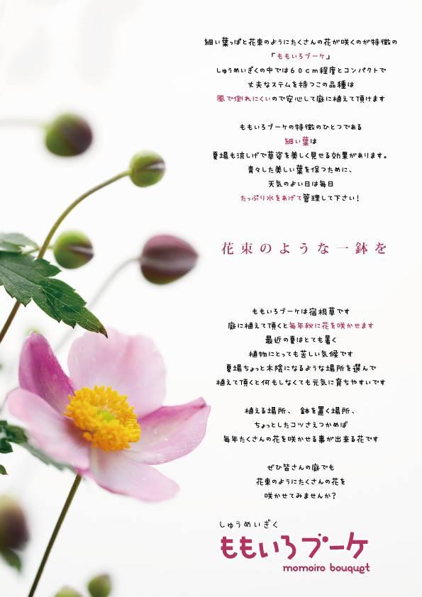 秋明菊 -シュウメイギク-  『ももいろブーケ』