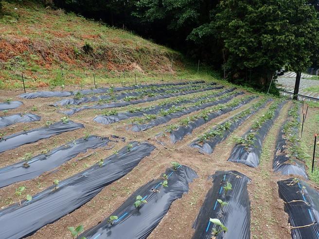 干し芋 無添加 国産 やわらかぽちいも(ひとくちサイズ)3袋セット 送料無料 四国徳島の自然の味わいたっぷりの ほしいも