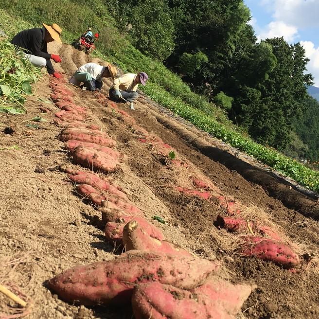 干し芋 2袋セット 国産 無添加 送料無料 四国徳島の自然の味わいたっぷりの 法市の ほしいも