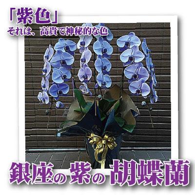 花 胡蝶蘭 銀座の紫の胡蝶蘭3本立 紫 送料無料 開店開業祝胡蝶蘭 フラワーギフトの配送花は お祝い 開店 御祝 お祝 上場祝 花 就任祝 贈答 ハロウィン お歳暮