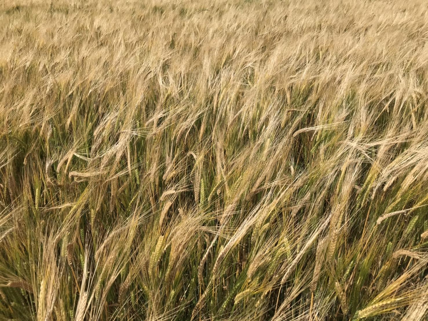 <<愛知・豊橋のいいもの旨いもの>> 82 豊橋産スーパーもち麦 毎日食べたいたっぷり5kg
