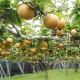 【期間限定】千葉の採れたて梨「幸水」(5kg)