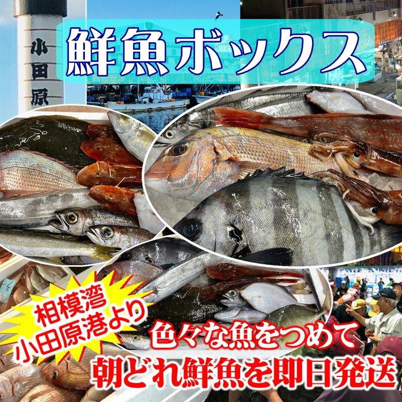 鮮魚セット 小田原 朝獲れ 鮮魚ボックス 5kg 【その日に水揚げされた鮮魚の詰合せ】早朝、競り落とした魚を詰め込んで即日配送いたします【冷蔵便】