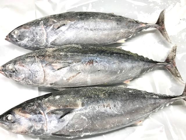 そうだ カツオ 【8kg】小田原漁港より冬場の朝獲れ品を【即冷凍】・脂のってます!刺身・たたき・焼物・煮物にいかがでしょうか【冷凍便】