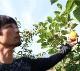 西平さんの九度山町甘柿の王様!「富有柿」2Lサイズ13玉入り(税込・送料別途)